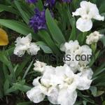 Iris pumila «Bright White»